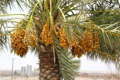 Wiązka dojrzenie pełno datuje na Daktylowej palmie w DUBAJ ulicie, UAE na 26 2017 CZERWU Zdjęcia Royalty Free