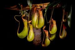 Wiązka dzbaneczniki, powszechnie znać jako tropikalnego miotacza rośliny obraz stock