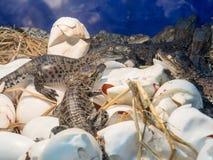 Wiązka dziecko krokodyl w wylęgarni przy gospodarstwem rolnym Obraz Royalty Free