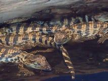 Wiązka dziecko krokodyla dopłynięcie w wylęgarni przy uprawia ziemię terenem Zdjęcia Stock
