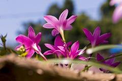 Wiązka Dzika Purpurowa leluja Kwitnie kwitnienie Na ścianie zdjęcie stock