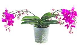 Wiązka fiołkowe orchidee Obrazy Stock