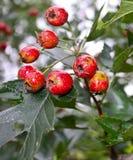 Wiązka głogowa owoc, krwionośna czerwień Obrazy Royalty Free