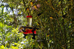 Wiązka hummingbirds obraz royalty free