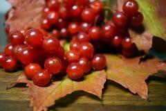 Wiązka jagody guelder na drewnianej powierzchni w jesieni zdjęcie stock