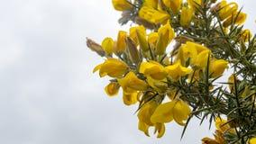 Wiązka kolor żółty kwitnie na kolcolista krzaku Obraz Royalty Free