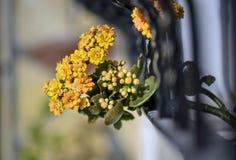 Wiązka kolor żółty kwitnie out okno wiszący Zdjęcia Stock