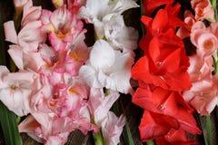 Wiązka kolorowy róży, bielu i czerwieni gladiolus, kwitnie Zdjęcia Royalty Free