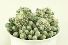 Wiązka kwiatonośni kaktusy Zdjęcia Stock