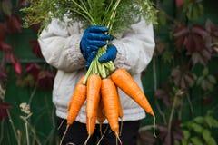 Wiązka marchewki żniwo w rolnik rękach obrazy stock