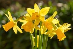 Wiązka miniaturowi Daffodils Zdjęcia Royalty Free