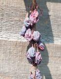 Wiązka obwieszenie wysuszone śliwki na ogrodzeniu obraz stock