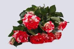 Wiązka osiria różany hybryd zdjęcia royalty free