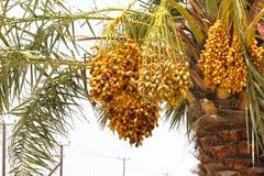 Wiązka Pełno daty na Daktylowej palmie w DUBAJ ulicie, UAE na 26 2017 CZERWU Obraz Stock
