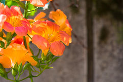 Wiązka pomarańczowe dzień leluje Obraz Royalty Free