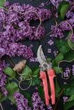 Wiązka purpurowi bzy i ręki pruner Fotografia Stock