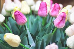 Wiązka różowi i biali tulipany niebieska spowodowana pola pełne się chmura dzień zielonych roślin krajobrazu ruchu pokaz mały nie zdjęcia royalty free