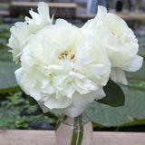 Wiązka różowy Sarah bernhardt ciie out peonie w turkusowej szklanej butelce na białym drewnianym stole Zdjęcia Royalty Free