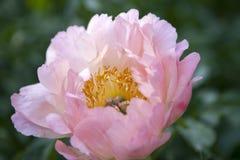 Wiązka różowy Sarah bernhardt ciie out peonie w turkusowej szklanej butelce na białym drewnianym stole Zdjęcia Stock