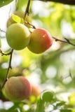Wiązka słodkie śliwki dojrzewa na gałąź z liśćmi w summe Zdjęcia Royalty Free