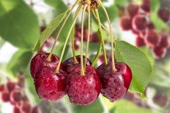 Wiązka słodkie wiśnie na czereśniowych gałąź Prunus avium zdjęcia royalty free