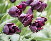 Wiązka tulipanowi kwiaty zamyka up dla tła, flowerbed nietypowy makro- zdjęcia stock