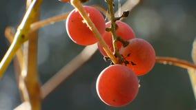 Wiązka winogrona zbiory