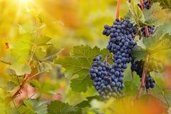 Wiązka winogrona na winnicy podczas zmierzchu fotografia stock