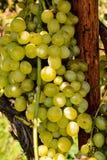wiązka winogrona na winogradzie, cyfrowy fotografia obrazek jako tło zdjęcie royalty free