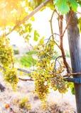 Wiązka winogrona na winogradzie w złotym świetle słonecznym fotografia stock