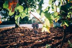 Wiązka winogrona riping na gałąź Zdjęcie Stock
