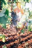 Wiązka winogrona riping na gałąź Obraz Royalty Free