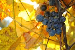 Wiązka winogrona wśród żółtych gronowych liści Zdjęcie Stock