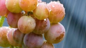 Wiązka winogrona w deszczu zbiory