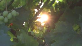 Wiązka winogrona w słońcu zbiory wideo