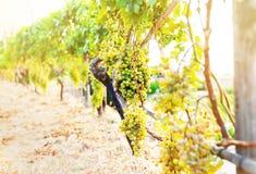 Wiązka winogrona wiesza na winogradzie w złotym świetle słonecznym obraz stock