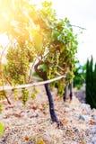 Wiązka winogrona wiesza na winogradzie w złotym świetle słonecznym obraz royalty free