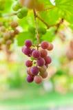 Wiązka winogrono dojrzewa na śniadanio-lunch Zdjęcia Stock