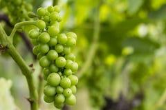 Wiązka winogrono na winorośli Zdjęcia Stock