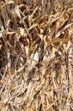 Wiązka wysuszona kukurudza pod światłem słonecznym Obrazy Royalty Free