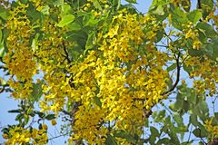 Wiązka Złota prysznic Kwitnie w drzewie Obraz Royalty Free