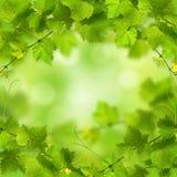 Wiązka zieleni winogradów liście fotografia royalty free