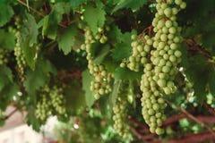 Wiązka zieleni winogrona na gałąź wykres Zdjęcie Stock