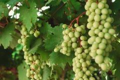 Wiązka zieleni winogrona na gałąź wykres Obrazy Royalty Free