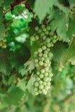 Wiązka zieleni winogrona na gałąź wykres Obrazy Stock