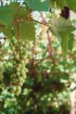 Wiązka zieleni winogrona na gałąź wykres Fotografia Stock