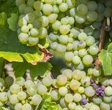 Wiązka zieleni winogrona na winorośli Obraz Stock