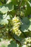 Wiązka zieleni winogrona na winorośli Fotografia Stock
