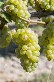 Wiązka zieleni winogrona na winorośli Obrazy Stock