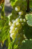 Wiązka zieleni winogrona na winorośli Fotografia Royalty Free